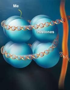 Histones wrapped in DNA