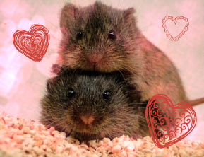 Prairie Voles in Love